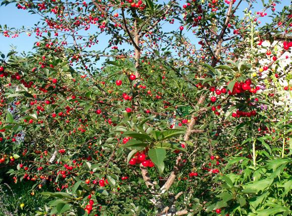 Черешня дерево