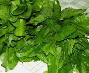 Заготовка крапива со шпинатом