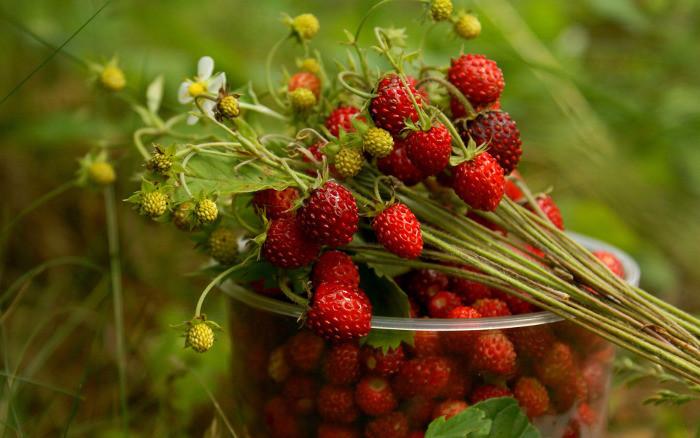 Свежая ягода земляника для компота на зиму