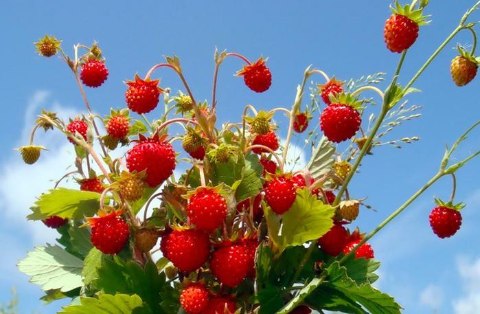 Земляника лесная ягода или садова