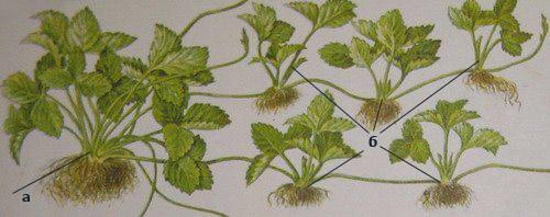 Корень, усы и листья земляники