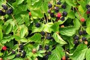 Ежевика — лесная ягода