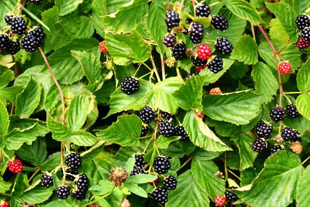 ежевика фото ягоды