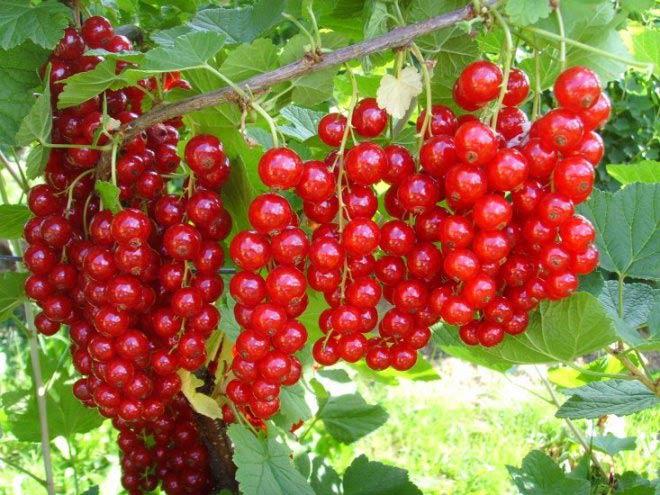 Гроздья ягод красной смородины