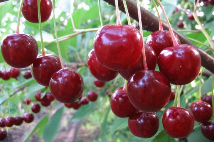 Красная вишня фото