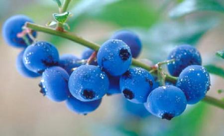 Голубика - вкусная и полезная ягода