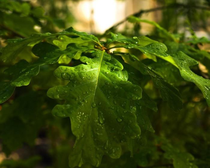 Дубоввые листья
