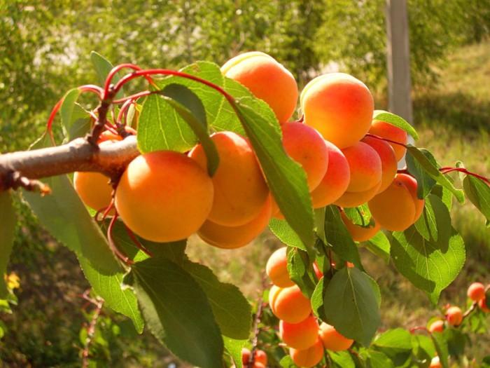 Фото: персики на ветке.