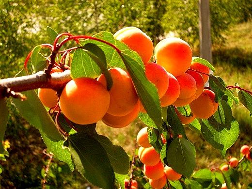 Фото: абрикосы