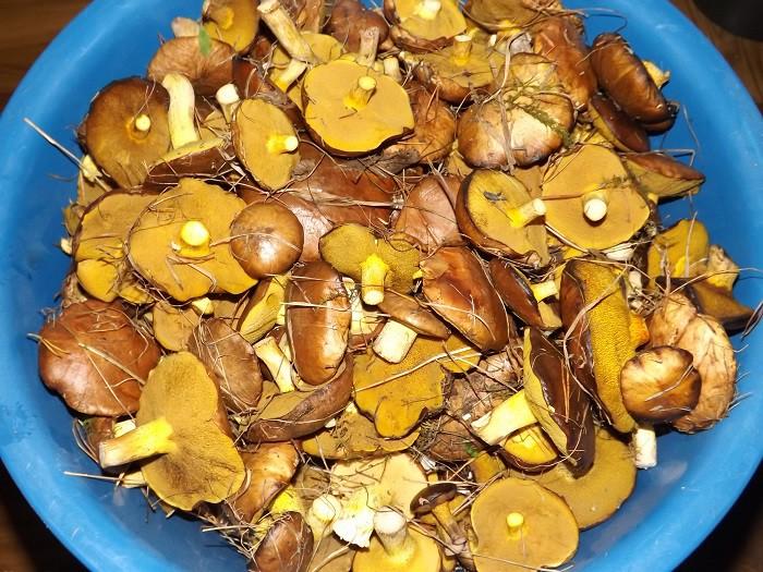 грибы маслята маринованные на зиму рецепт с фото