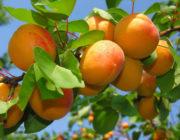 Замораживают ли абрикосы, что будет, когда их разморозишь. Рецепты, рекомендации, как можно заморозить абрикосы на зиму - Автор Екатерина Данилова