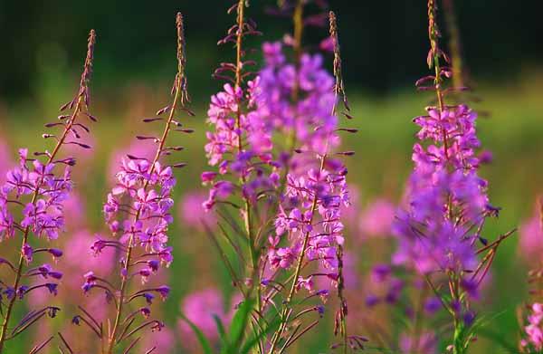 Растения используемые в травяных снотворных сборах