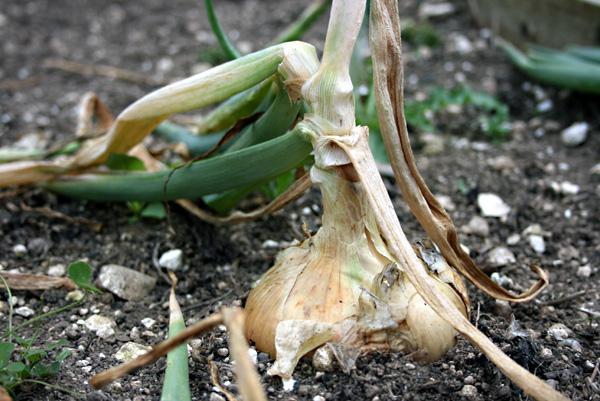 Как сушить различные виды лука на зиму: сушеный лук в 22