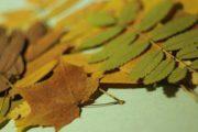 Как сушить листья