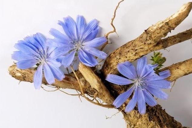 цикорий фото корень