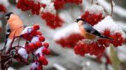 Как заготовить черноплодку на зиму