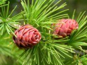 Варенье из шишек лиственницы